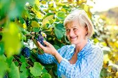 женщина жать виноградин Стоковое Изображение