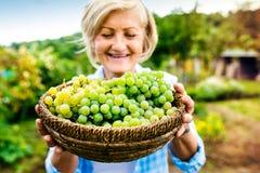женщина жать виноградин Стоковая Фотография RF
