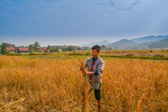 Женщина жать рис в Лаосе Стоковая Фотография