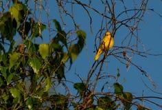 Женщина желтой певчей птицы стоковое изображение rf