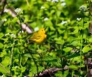 Женщина желтой певчей птицы Стоковые Фото