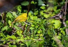 Женщина желтой певчей птицы Стоковые Изображения