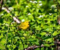 Женщина желтой певчей птицы Стоковое фото RF
