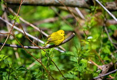Женщина желтой певчей птицы Стоковые Фотографии RF
