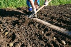 Женщина засаживая картошки в стране Стоковая Фотография