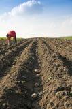 Женщина засаживая картошки Стоковые Изображения