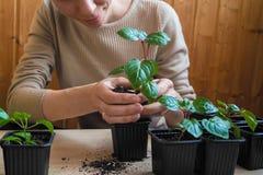 Женщина засадила молодые заводы в баках весной Стоковая Фотография