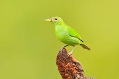Женщина зеленого spiza Honeycreeper, Chlorophanes, формы Коста-Рика экзотического тропового малахита зеленой и голубой птицы Tana Стоковое Изображение RF