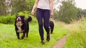 Женщина идя с bernese собаками чабана сток-видео