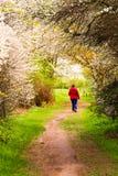 Женщина идя на путь под зацветая деревьями Стоковые Изображения RF