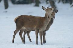 Женщина красных оленей с икрой, зимой Стоковая Фотография