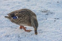 Женщина кряквы (platyrhynchos Anas) Стоковые Изображения RF