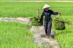 Женщина на поле риса Стоковое Фото