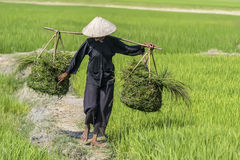 Женщина на поле риса Стоковое фото RF