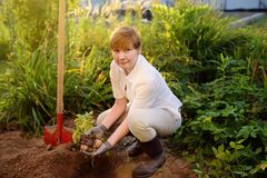 Женщина обутая в картошках раскопок ботинок в ее саде стоковое изображение rf