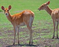 женщина оленей barasingha Стоковое Изображение RF
