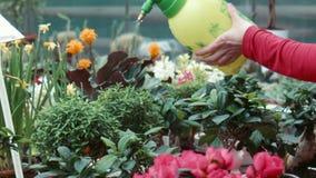 Женщина орошает цветки в парнике сток-видео