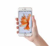 Женщина открывает золото iPhone 6S розовое на белой предпосылке Стоковое фото RF