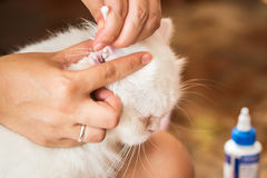 Женщина очищает кота ушей Стоковые Фото