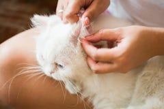 Женщина очищает кота ушей Стоковая Фотография