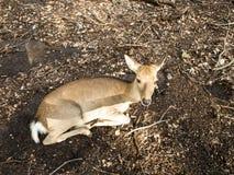 Женщина оленей Sika на Nara Стоковые Фотографии RF