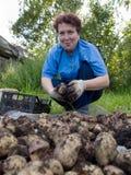 Женщина пожилых людей сортирует урожай картошки Стоковые Фото
