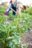 Женщина при сапка работая на поле Patato Стоковое Фото