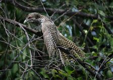 Женщина птицы Koel общая Стоковые Фотографии RF