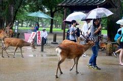 Женщина путешественника тайская держа зонтик идя с оленями пока Ра Стоковые Фото