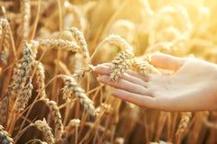 женщина пшеницы руки уха стоковая фотография rf