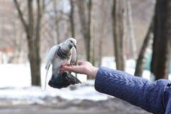 женщина руки s dove стоковая фотография