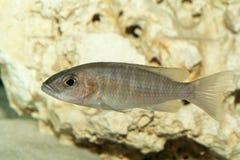 Женщина рыб cichlid Стоковые Изображения RF