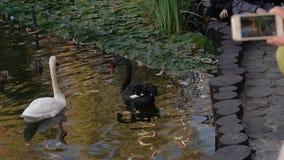 Женщина снимает лебедей на пруде по телефону видеоматериал