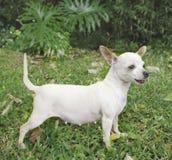 женщина собаки чихуахуа Стоковое Изображение
