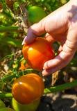 Женщина собирает томаты Стоковое Фото