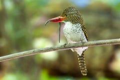 Женщина соединила earthworm задвижек птицы Kingfisher для еды в лесе Стоковое фото RF