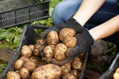 Женщина сортируя картошку стоковая фотография rf