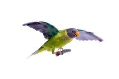 Женщина слив-голового длиннохвостого попугая на белизне Стоковое Фото