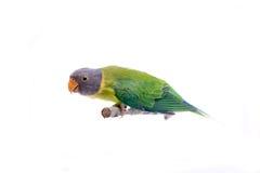 Женщина слив-голового длиннохвостого попугая на белизне Стоковое фото RF