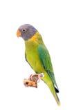 Женщина слив-голового длиннохвостого попугая на белизне Стоковые Изображения RF