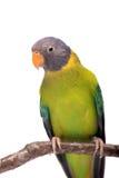 Женщина слив-голового длиннохвостого попугая на белизне Стоковые Изображения