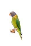 Женщина слив-голового длиннохвостого попугая на белизне Стоковые Фотографии RF