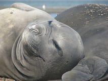 Женщина слона моря стоковое изображение rf