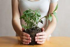 Женщина с ростком базилика в ее руках Стоковая Фотография RF