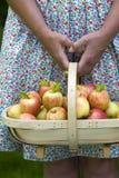 Женщина с свежими яблоками в деревянном trug стоковое изображение rf
