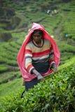 Женщина Тамильского языка выбирает свежие листья чая Стоковое Изображение RF