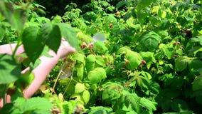 Женщина ужинает урожай поленик в саде сток-видео