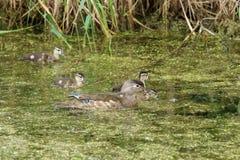 Женщина, утка курицы деревянная, и ее выводок молодого заплыва в болоте стоковое фото