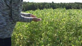 Женщина фермера вручает сбору зрелые стручки горохов в сельской плантации фермы 4K акции видеоматериалы