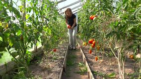 Женщина фермера выбирая органические томаты в парнике видеоматериал